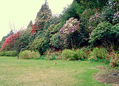 Stonefield Castle garden, teh 'Himalaya'  with large Rhododendron (species)
