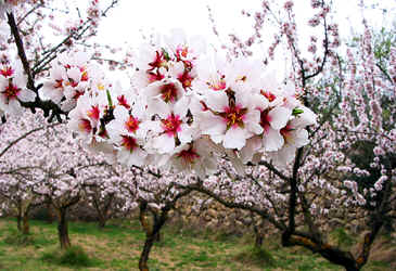 almond-trees with blossoms