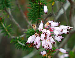 Erica manipuliflorum, a heather