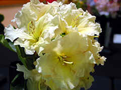 "'Trenna"", nice soft yellow..........I hope the spelling is right; it was not on the yellow list....."