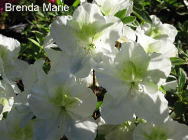 'Brenda Marie'  = CB-1 x ('Elsie Lee' x 'Dancing Butterfly')  (BE-97-27)