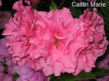 'Caitlin Marie' = 'Elsie Lee' x 'Satellite'  (LS-91-47)