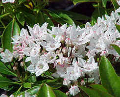 Kalmia latifolia 'Comet' with deeply lobed white flowers