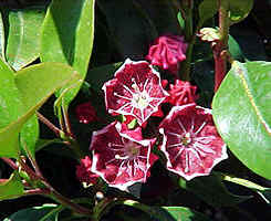 Kalmia latifolia 'Keepsake'  with nice bands