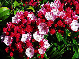 an own seedling of Kalmia latifolia