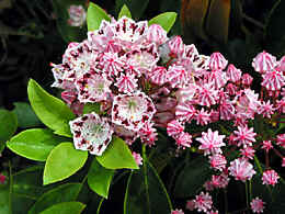 a own cross with Kalmia latifolia 'Freckles'