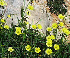Oxalis pes-caprae grows even in Benidorm