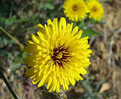 many yellow flowers here, like Urospermum dalechampii,